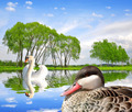 swan and duck on water level - PhotoDune Item for Sale