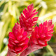 beautiful tropical red ginger flower. - PhotoDune Item for Sale