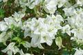 Bougainvillea flower. - PhotoDune Item for Sale
