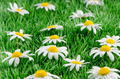 Daisies on grass - PhotoDune Item for Sale