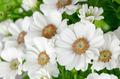 Beautiful Chrysanthemum flowers - PhotoDune Item for Sale