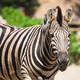 "Common Zebra, science names ""Equus burchellii"", stand on sand gr - PhotoDune Item for Sale"