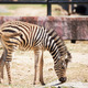 "Common Zebra, science names ""Equus burchellii"", baby stand on sa - PhotoDune Item for Sale"