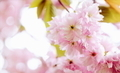 Pink Cherry Blossom Floral Background - PhotoDune Item for Sale