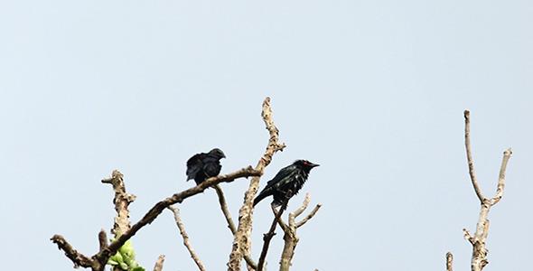 VideoHive Asian Glossy Starling Aplonis panayensis 02 10615580