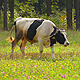Cow - VideoHive Item for Sale