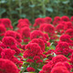 many red cockscomb (celosia) flowers - PhotoDune Item for Sale