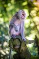 Monkey at Sacred Monkey Forest, Ubud, Bali, Indonesia - PhotoDune Item for Sale