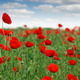 red poppies flower meadow spring season - PhotoDune Item for Sale