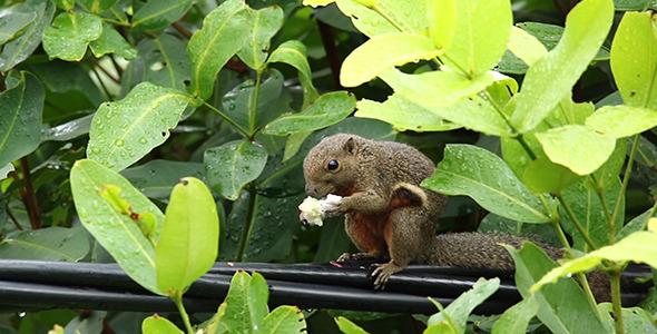 Wild Squirrel Callosciurus notatus