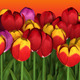 Colorful Tulips on Vibrant Gradient Background - GraphicRiver Item for Sale