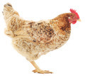 brown hen - PhotoDune Item for Sale