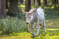 Hungarian Grey cattle - PhotoDune Item for Sale