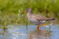 Wading Common Redshank - PhotoDune Item for Sale