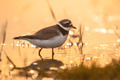 Ringed plover - PhotoDune Item for Sale