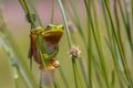 Climbing Green European tree frog - PhotoDune Item for Sale
