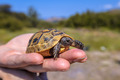Young Spur-thighed tortoise on hand - PhotoDune Item for Sale