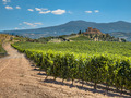 Vineyard at a Tuscany Winery Estate, Italy - PhotoDune Item for Sale
