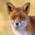 Red fox portrait - PhotoDune Item for Sale