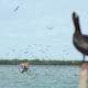 Brown Pelican Mexico Wildlife 6 - VideoHive Item for Sale