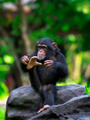 Common Chimpanzee - PhotoDune Item for Sale