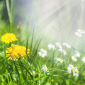 Spring flowers of dandelion and daisies in green grass. - PhotoDune Item for Sale