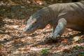 Komodo Dragon - PhotoDune Item for Sale
