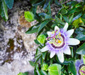 passion fruit flower - PhotoDune Item for Sale