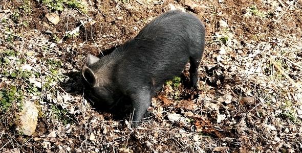 Wild Pigs 9