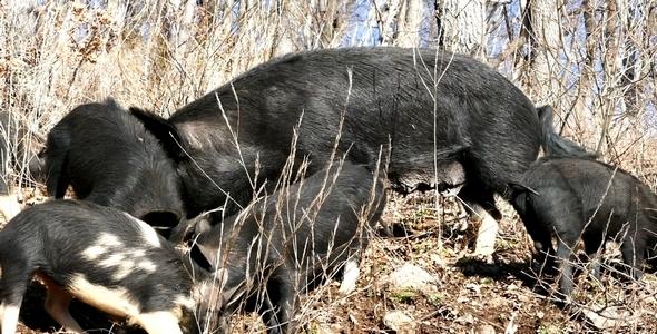 Wild Pigs 12