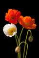 Poppy flowers on black - PhotoDune Item for Sale