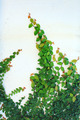 The Green Creeper Plant - PhotoDune Item for Sale