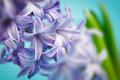 hyacinth macro - PhotoDune Item for Sale