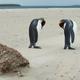 King Penguins Preening - PhotoDune Item for Sale