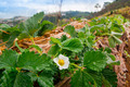 several strawberry flowers on the stem - PhotoDune Item for Sale