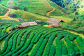 Tea plantation in the Doi Ang Khang, Chiang Mai, Thailand - PhotoDune Item for Sale