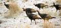 Wild Animal Turkey Game Birds Peck Frozen Ground Feeding - PhotoDune Item for Sale