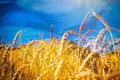 Flag of Ukraine and field of gold wheat under sky - PhotoDune Item for Sale