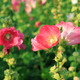 Pink Hollyhock Flowers - PhotoDune Item for Sale
