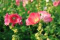 Pink Hollyhock Flowers - PhotoDune Item for Sale