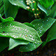 Raindrops Falling On The Leaves - VideoHive Item for Sale