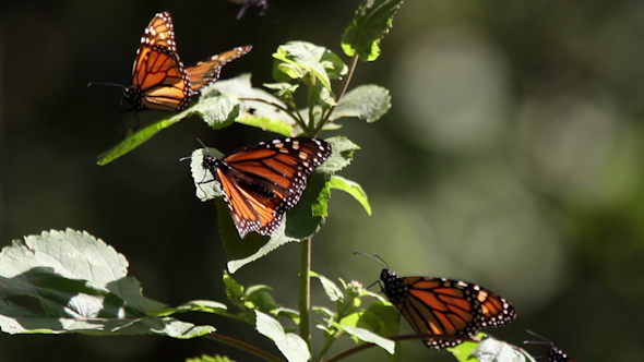 Monarch Butterfly Sanctuary Mexico 21