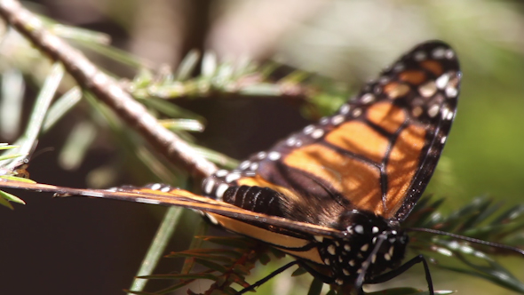 Monarch Butterfly Sanctuary Mexico 38
