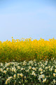 Rape flowers and narcissus and blue sky - PhotoDune Item for Sale