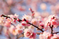 Beautiful plum flowers - PhotoDune Item for Sale