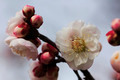 Beautiful plum flowers bloom in spring - PhotoDune Item for Sale
