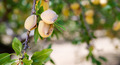 Almond Nuts Tree Farm Agriculture Food Production Orchard Califo - PhotoDune Item for Sale
