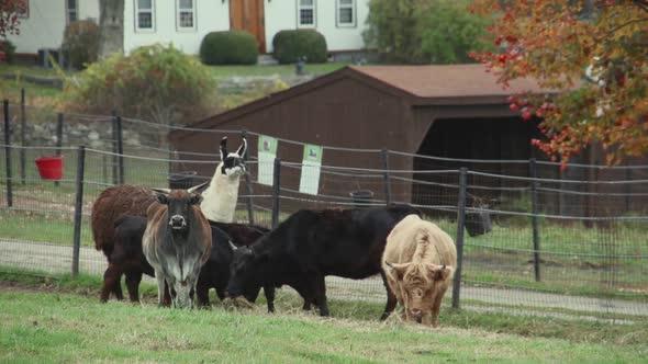 Herd Of Cattle Grazing 4 Of 9