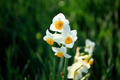 Beautiful narcissus flowers - PhotoDune Item for Sale