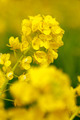 Rape blossoms in spring - PhotoDune Item for Sale
